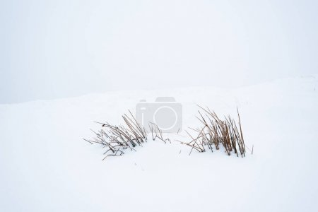 mountain dry plant with branches in white pure snow