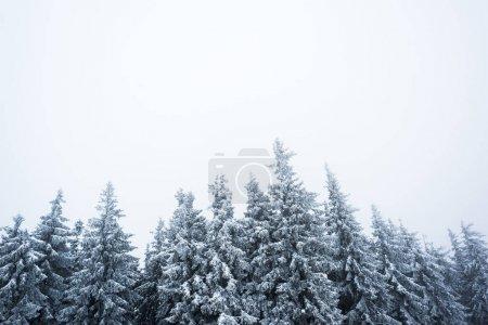 Photo pour Vue à angle faible de pins couverts de neige sur fond de ciel blanc - image libre de droit