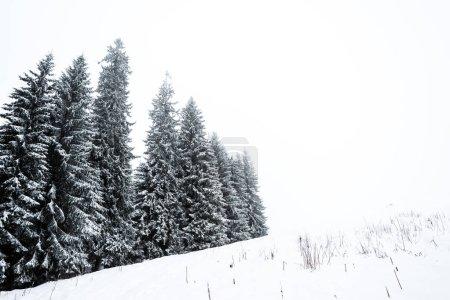 Foto de Bosque de pinos cubierto de nieve en la colina con cielo blanco en segundo plano. - Imagen libre de derechos