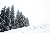 pine trees forest covered with snow on hill with white sky on background