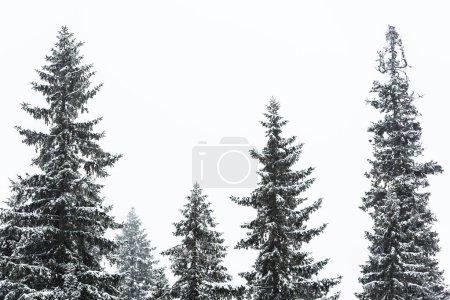 Photo pour Pins couverts de neige sur fond de ciel blanc - image libre de droit
