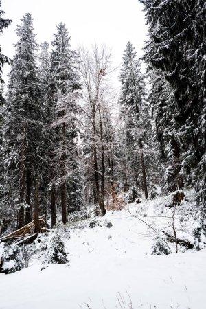 Photo pour Pins forêt couverte de neige sur la colline avec ciel blanc sur le fond - image libre de droit