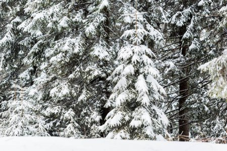 Photo pour Pins couverts de neige dans la forêt d'hiver - image libre de droit