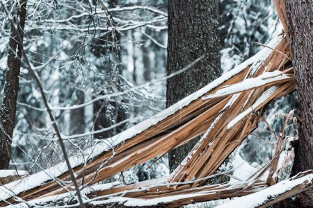 Photo for Wooden planks in forest covered with snow in winter - Royalty Free Image