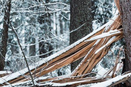 Photo pour Planches de bois dans la forêt couverte de neige en hiver - image libre de droit