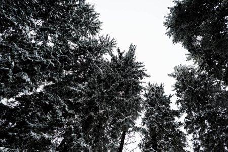Photo pour Vue du bas des pins couverts de neige avec un ciel pur et blanc sur fond - image libre de droit