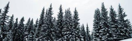 Photo pour Vue panoramique de la pinède avec de grands arbres couverts de neige sur la colline, vue panoramique - image libre de droit