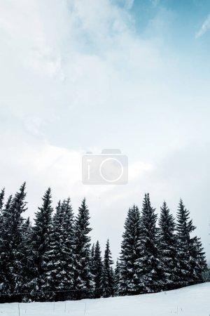 Photo pour Vue panoramique de la pinède avec de grands arbres couverts de neige sur la colline - image libre de droit