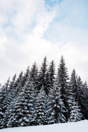 Photo pour Vue à faible angle de la forêt de pins avec de grands arbres couverts de neige sur la colline - image libre de droit
