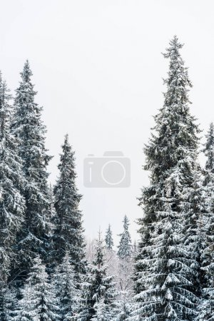 Photo for Scenic view of pine forest with tall trees covered with snow - Royalty Free Image