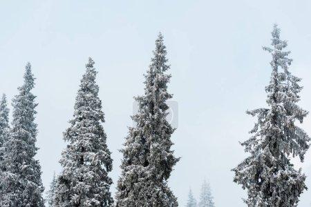 Photo pour Vue panoramique de la pinède avec de grands arbres enneigés - image libre de droit