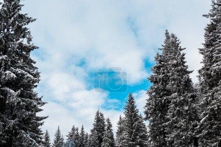 Photo pour Vue panoramique de pins couverts de neige et de nuages blancs touffus - image libre de droit