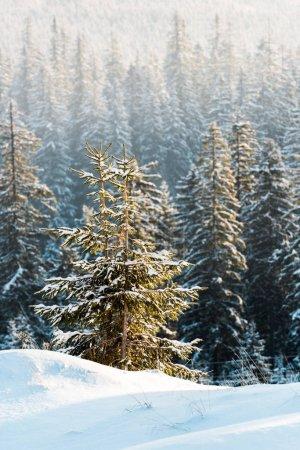 Photo pour Vue panoramique de pins couverts de neige au soleil - image libre de droit