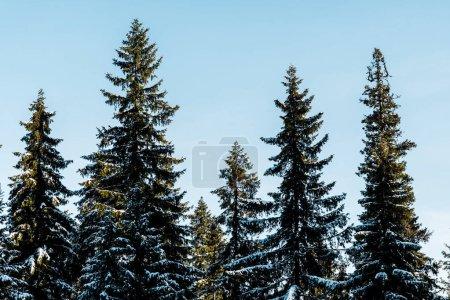 Foto de Vista panorámica de los pinos verdes cubiertos de nieve bajo la luz del sol sobre fondo del cielo azul. - Imagen libre de derechos