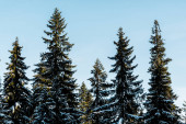 scenic view of green pine trees covered with snow in sunlight on blue sky background
