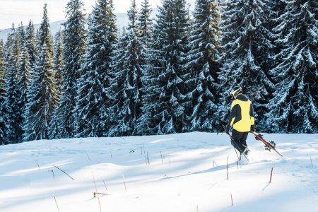 Photo for Skier holding ski sticks and walking on snow near pines - Royalty Free Image