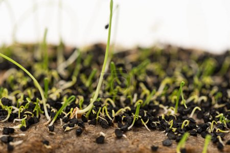 Photo for Macro shot of sprouts of microgreens with seeds on ground isolated on white - Royalty Free Image