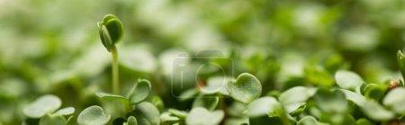 Foto de Vista de cierre de hojas de microverdes, tiro panorámico. - Imagen libre de derechos