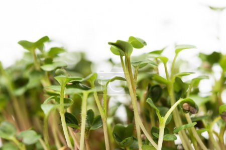 Close up view of microgreens isolated on white