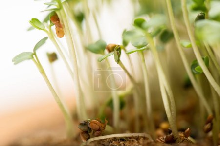 Photo for Macro shot of microgreens with seeds on ground isolated on white - Royalty Free Image