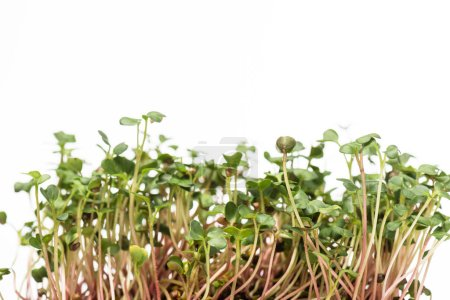Photo for Microgreens with green leaves isolated on white - Royalty Free Image