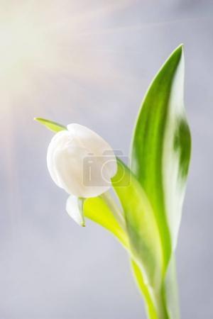 White tulip in bottle