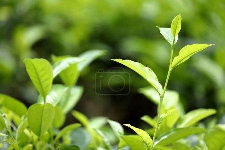 Tea plantations at Kandy in Sri Lanka