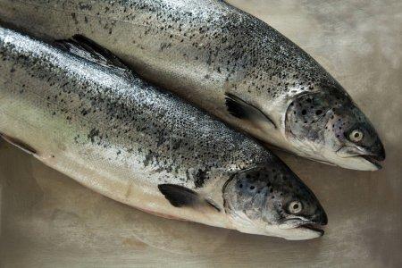 Two salmons on metallic grey background