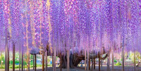 Beauty wisteria blooming