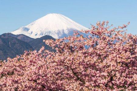 Kawazu Sakara and Mountain Fuji