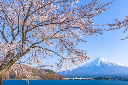 Sakura cherry blossom and Mount Fuji