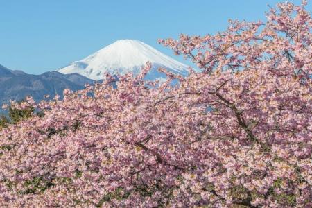 Kawazu Sakara and Mountain Fuji in spring season