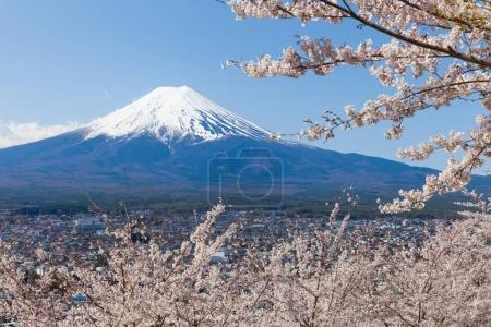 Sakura Cherry blossom trees and Mount Fuji in spring season