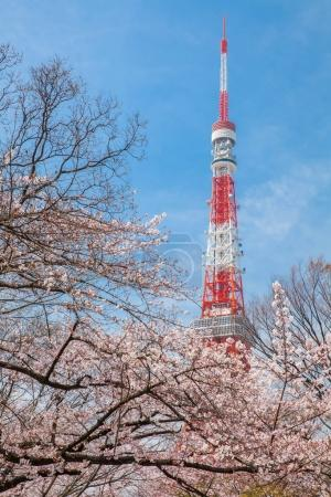Tokyo tower and Sakura cherry blossom in Japan spring season