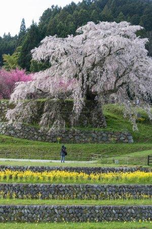 Matabei sakura , beloved giant draping cherry tree planted in Hongo area in Uda city, Nara Prefecture.