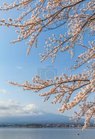 Sakura cherry blossom and Mt. Fuji at Kawaguchiko lake , Japan  in spring season