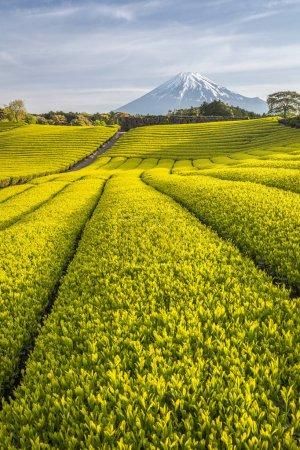 Tea farm and Mount Fuji in spring at Shizuoka prefecture, Japan.