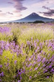 """Постер, картина, фотообои """"Вид горы Фудзи и лавандовыми полями в летний сезон на озера Кавагутико"""""""