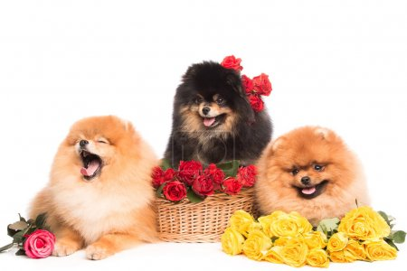 Spitz dogs in the basket with flowers