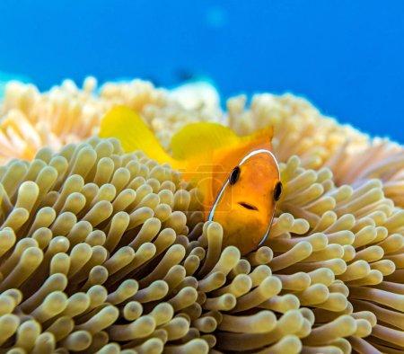 Photo pour Petit poisson jaune dans l'océan Indien, Maldives - image libre de droit
