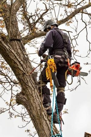 Lumberjack with saw and harness pruning a tree. Arborist work on old walnut tree.