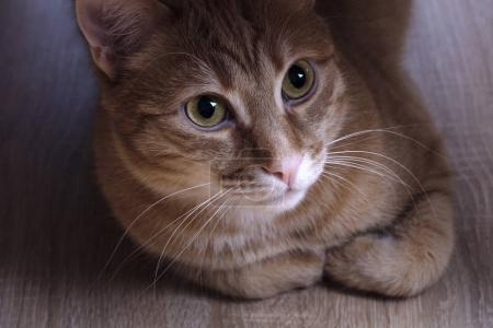 Red cat sitting under a table