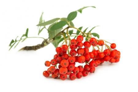 Ripe Rowan berry