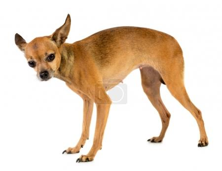 Small toy terrier dog