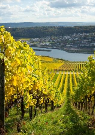 Rhine valley with vineyards