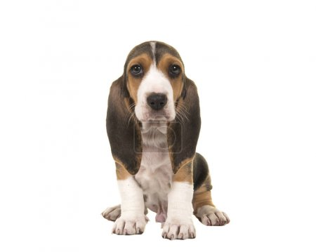 Cute sitting basset artesien normand puppy isolated on a white background seen from the front