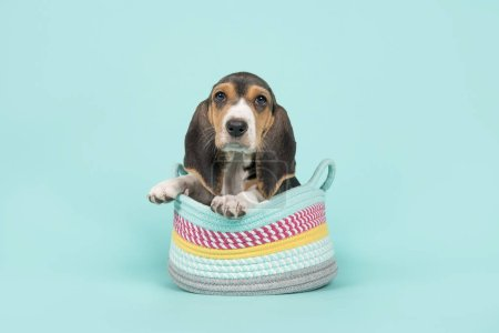 Cute basset puppy sitting in a woolen basket on a blue background