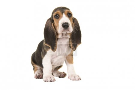 Cute sitting basset artesien normand puppy isolated on a white background seen from the side