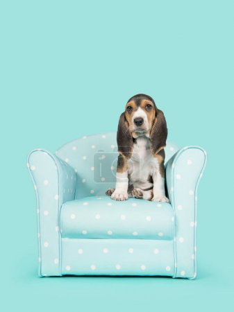 Cute basset artesien normand puppy sitting in a blue and white dotted chair on a blue  background