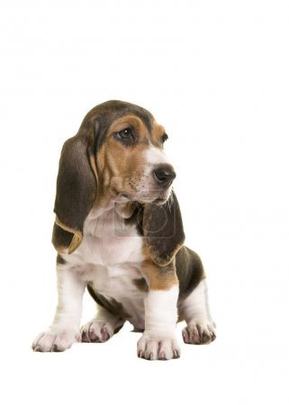 Cute sitting french basset puppy looking to the right isolated on a white background